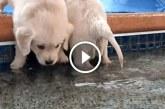 Kiskutyák először fürdenek medencében- Nagyon cukin ugrálnak, imádni fogod őket!