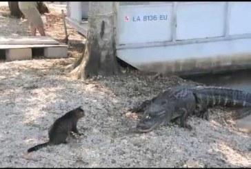 Cica megtámadja az aligátort – Hihetetlen felvétel