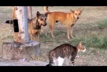 A testőr cice megvédi a gazdáját a kutyáktól – hatalmas arc