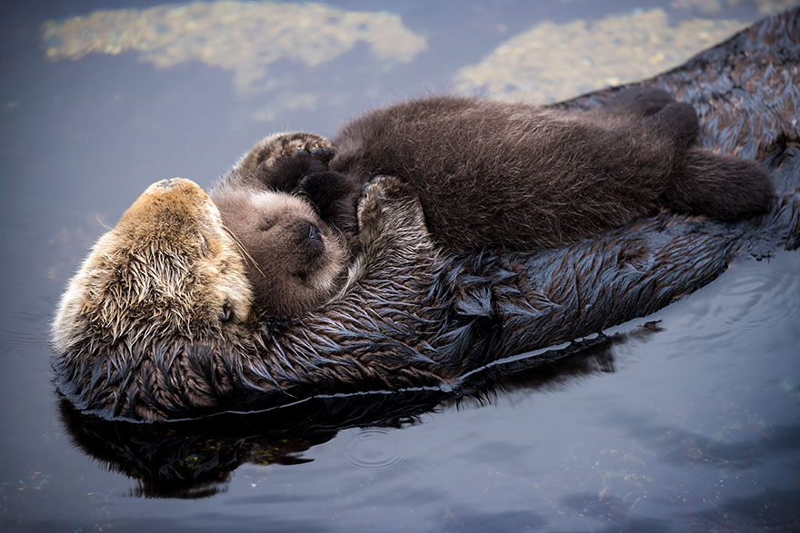 baby-otter-sleeps-mother-belly-monterey-bay-aquarium-16